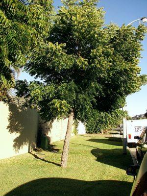 Neem Trees Photo
