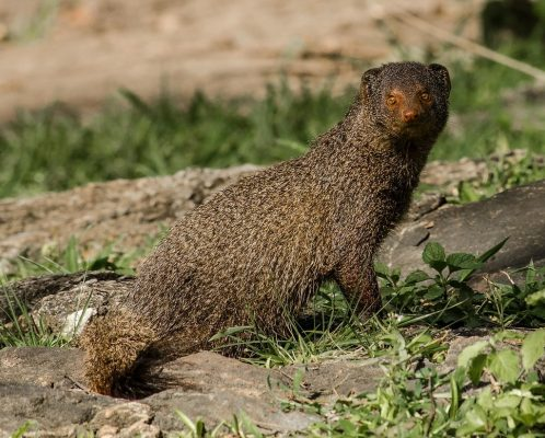 Mongoose Images