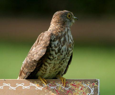 Hawk Cuckoo Photo