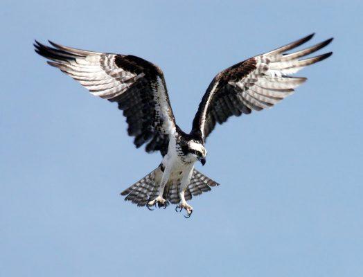 Hawk Images Or Baj Images