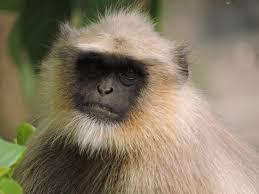 Ape Or Black Monkey Images