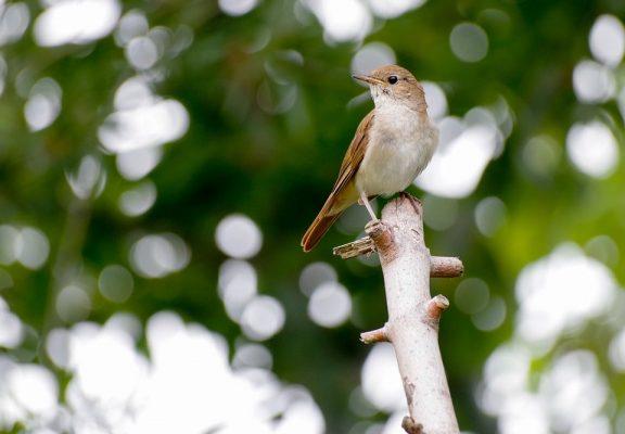 Nightingale Images